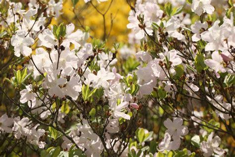 Latvijas Universitātes Botāniskajā dārzā sācies rododendru ziedēšanas laiks - LV portāls