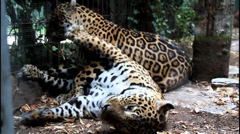 ingresso zoo di pistoia giaguari allo zoo di pistoia