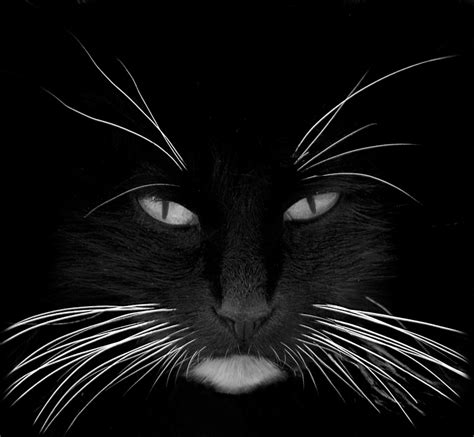 do cats shed their whiskers what happens if a cat s whiskers are damaged or clipped