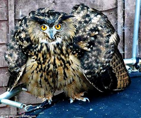 Do Barn Owls Eat Cats by Beware The Eagle Owl Bird Capable Of Cats