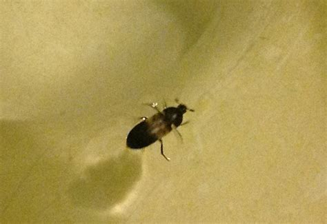 larder beetle larvae in bedroom bedroom review design