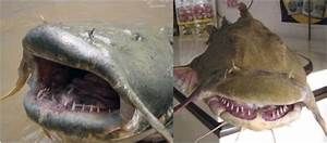 Scary Mouth And Tooth Of Goonch Catfish  Bagarius Yarelli   The