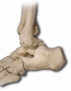 Lower Extremities Bones
