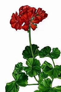 Noble pelargonium clipart - Clipground