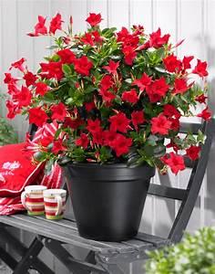 Sundaville Red