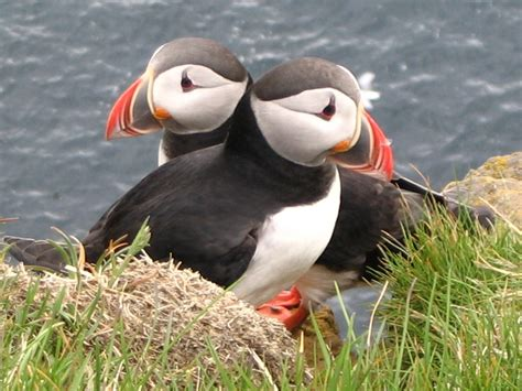 atlantic puffin high definition wallpapers cool nature
