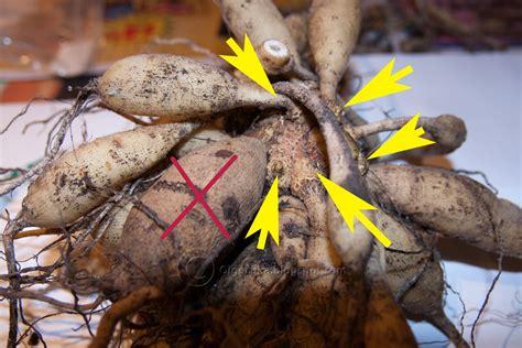 storing dahlia tubers olga s garden blog storing dahlia tubers