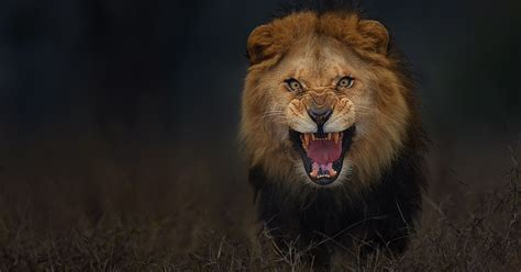 photographer shoots angry lion pic moments