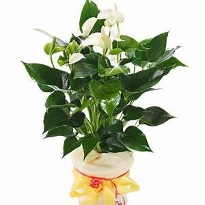 Anthurie Im Wasser : anthurie in wei von floraprima auf kaufen ~ Yasmunasinghe.com Haus und Dekorationen