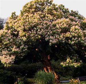 Was Vertreibt Mücken : panorama der trompetenbaum bietet nat rlichen ~ Whattoseeinmadrid.com Haus und Dekorationen
