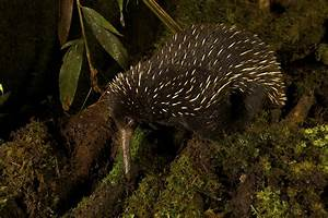 Scientists discover that for Australia the long-beaked ...