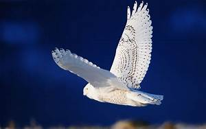 wallpapers: White Owl Wallpapers