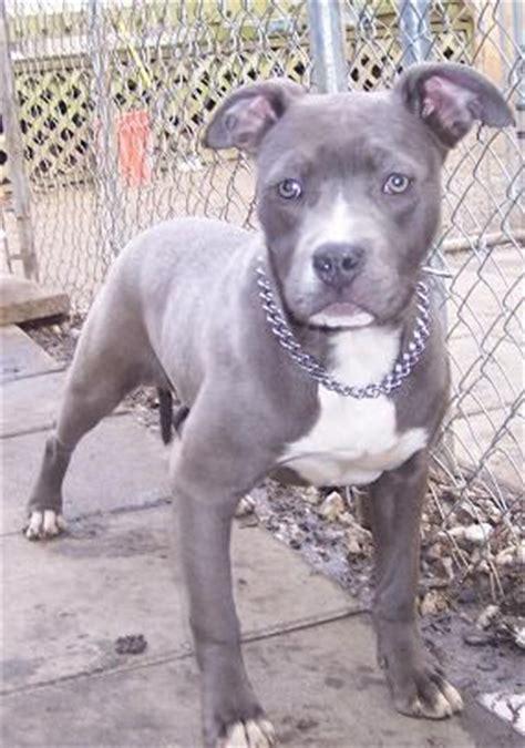 blue female pitbull puppy  sale adoption