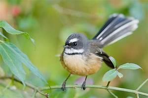 New Zealand's top 10 birds - photos - national | Stuff.co.nz