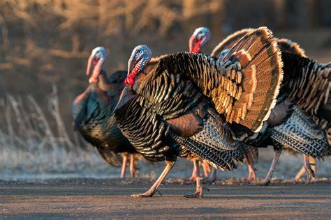 wild turkeys    england audubon