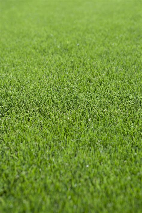 overseeding lawns  warm season grasses