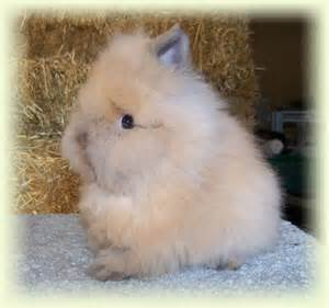 Lion Head Bunny Rabbit