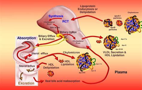 cholesterol metabolismo synthesis liver ldl lipoproteinas hdl trafficking body blood colesterol control process nutrition alteraciones via hierro bad medication lipoprotein
