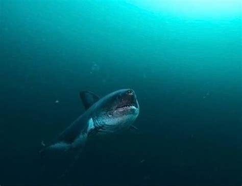 White Shark Life Span
