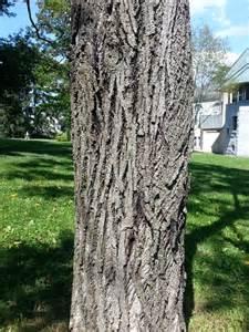 Butternut Tree Bark
