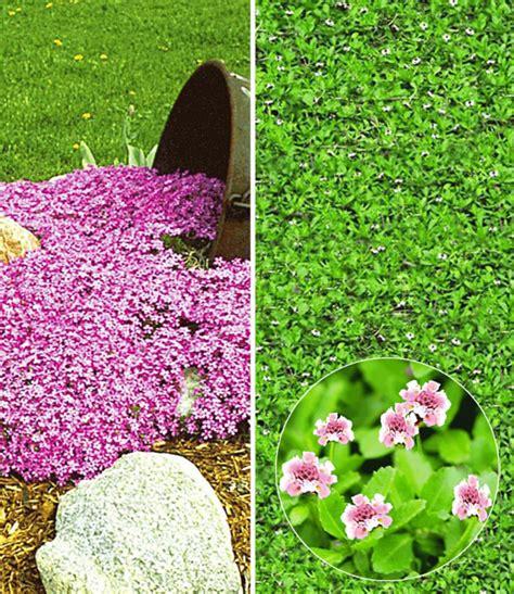 Rosa Blühende Stauden by Bodendecker Kollektion Pink Rosa Bodendecker Stauden Bei