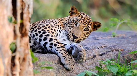 top  leopards hd images
