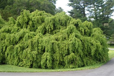 large feather fans canadian hemlock trees buy evergreen trees