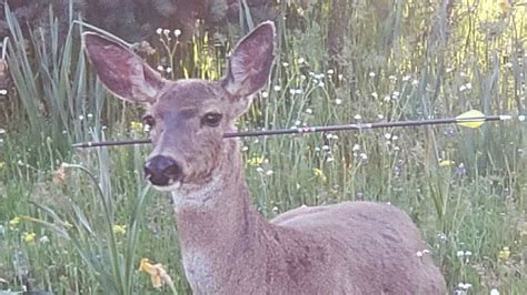 deer shot arrows through oregon shooting impaled arrow shoot neck doe body face abuse wound them living animal were sticking