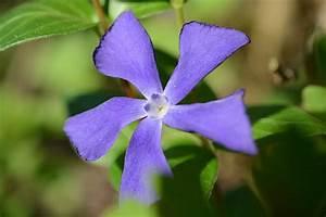 Vinca Minor Giftig : kleines immergr n bl ten von oben kleines immergr n flora ~ Lizthompson.info Haus und Dekorationen