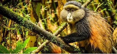 Golden Monkey Rwanda National Volcanoes Park Monkeys