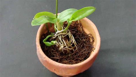 menanam anggrek  sabut kelapa tanaman hias