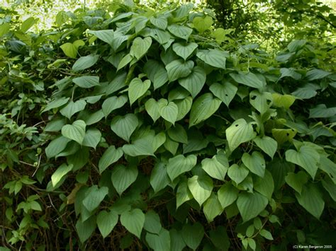 What Is Wild Yam Extract Good For?
