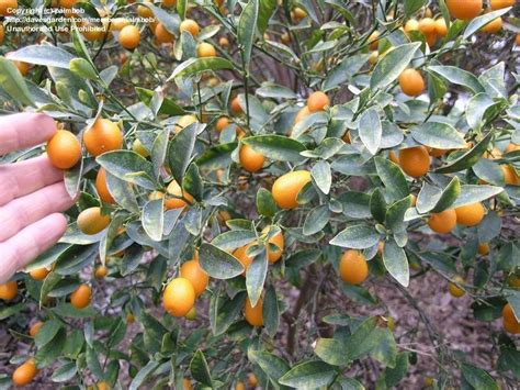 Plantfiles Pictures Kumquat 'nagami' (fortunella