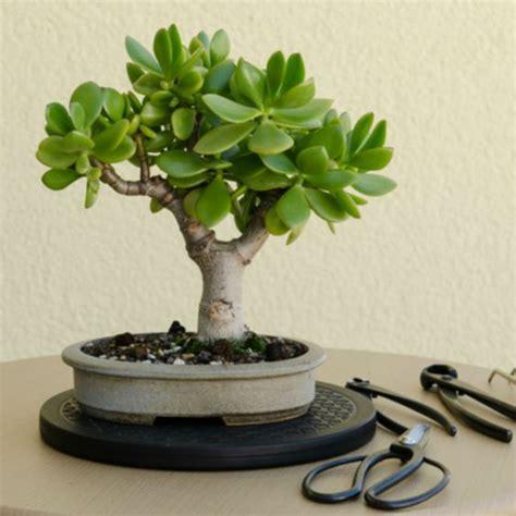 bonsai baum für draußen bonsai baum kaufen und richtig pflegen einige wertvolle tipps