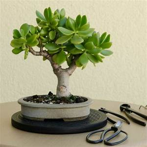 Bonsai Baum Schneiden : bonsai baum kaufen und richtig pflegen einige wertvolle tipps ~ Frokenaadalensverden.com Haus und Dekorationen