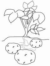 Potato Coloring Pages Poland Potatoes Vegetables Kindergarten Countries Potato1 Plant Sweet Preschool Vegetable Coloringpagebook Colouring Printable Crafts Toddler Printables Crops sketch template