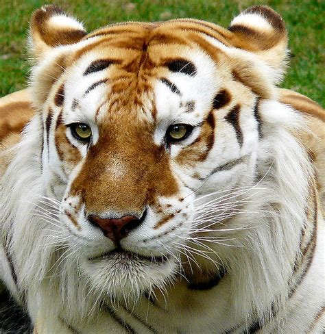 Strawberry Tiger Golden Tabby Cats Are Cool Pinterest