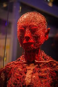 Model Of Our Arteries  Blood Vessels  Veins