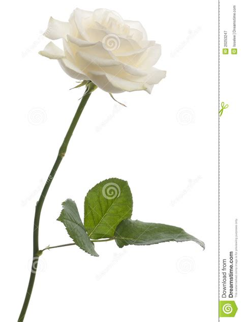 white rose  front  white background royalty  stock