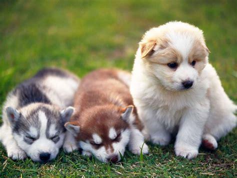Do Weimaraner Dogs Shed A Lot by 13 Ra 231 As Dos Filhotes De Cachorros Mais Fofos Cachorros