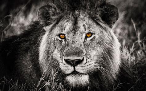Lion Black And White Desktop Hd Wallpapers 6399