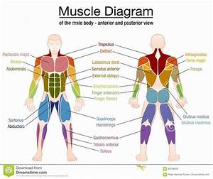 Men Muscle Anatomy  Men  Muscle  Men Men Muscle   Men