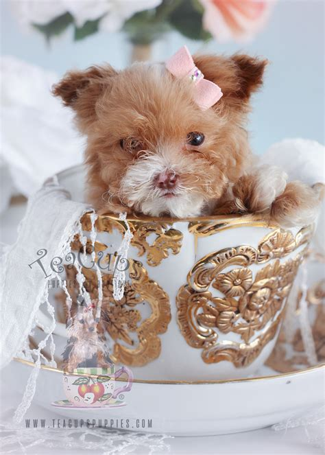 Micro Teacup Poodle Puppies For Sale At Teacups Puppies Teacups Puppies Boutique