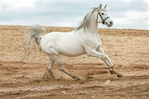 araber edle pferde aus dem orient  ist