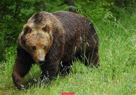 Медведи . Энциклопедия животных