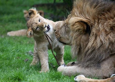 lion cub playing  dad    lion cubs playing