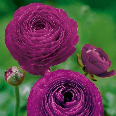 ranunculus flower ranunculus flowers wedding flowers