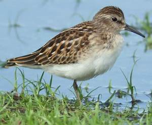 Farmers Asked To Flood Fields For Migratory Birds # ...