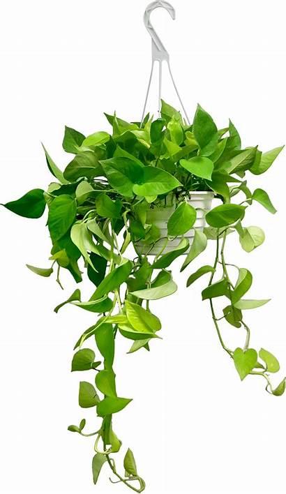 Hanging Transparent Plants Pothos Basket Clipart Garden