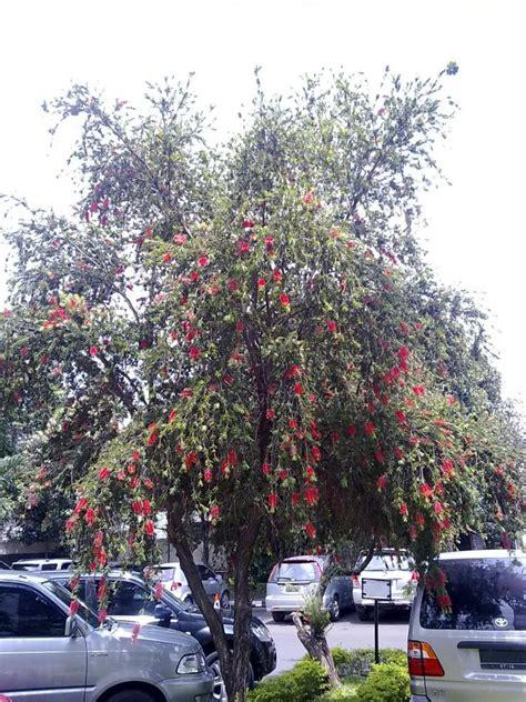 foto spesies pohon minyak kayu putih bunga merah oleh